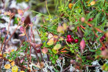 Close up of Alaskan tundra landscape, ripe local berries, Alaska, USA