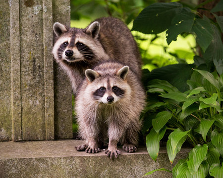 Two raccoons surprised by human presence
