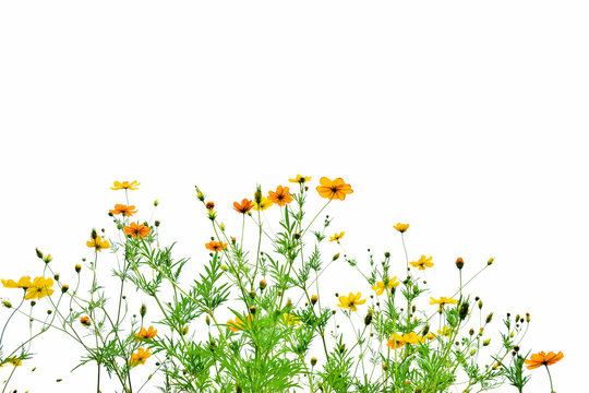 Beautiful cosmos flowers on white background
