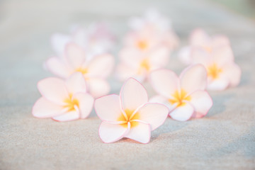 Close up flower Plumeria Pink background nature