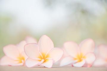 Close up flower Plumeria Pink background nature