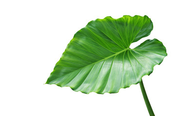 Green Leaf of Elephant Ear Plant Isolated on White Background