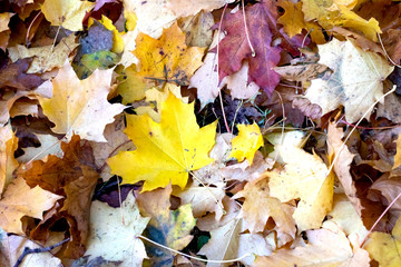 Autumn yellow maple leaves close up, background