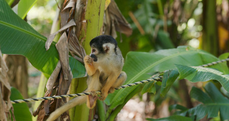 Squirrel Monkeys sitting on the rope