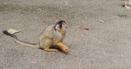 Squirrel Monkey in zoo park