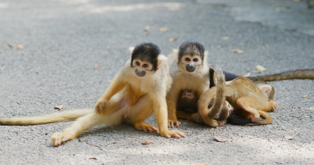 Group of Squirrel Monkey