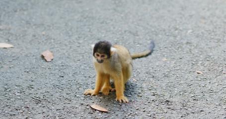 Squirrel Monkey in park