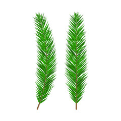 Green lush spruce branch. Evergreen tree, fir