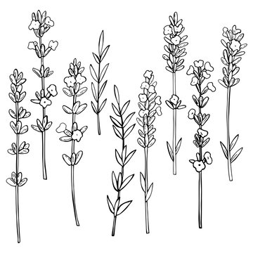 Hand drawn  lavender. Vector sketch  illustration.