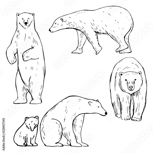 Hand Drawn Polar Bear Vector Sketch Illustration Stock
