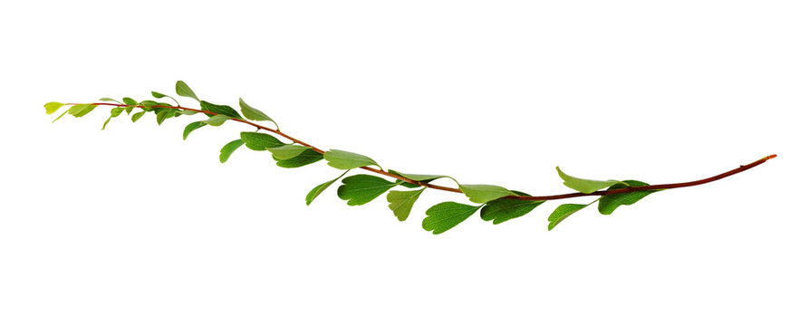 Twig with small green leaves