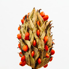 Magnolia grandiflora against white background with red seeds