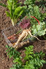 Potager bio - récolte de légumes