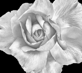 Monochrome black and white fine art still life bright floral macro portrait image of a single isolated rose blossom, black background,detailed texture,vintage painting style