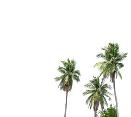 Coconut trees on isolated white background.