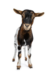 Wall Mural - Funny white, brown and black spotted pygmy goat standing front view looking irritated to camera, isolated on white background