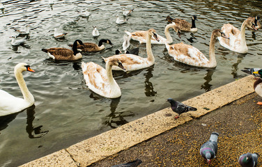 Swans, gulls and ducks swimming in Serpentine Lake, London