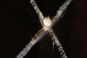A Banded Orb-Web Spider (argiope flavipalpis) Hiding On X-shaped Web