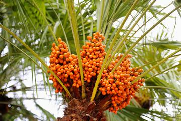 Palm tree with bright orange fruits
