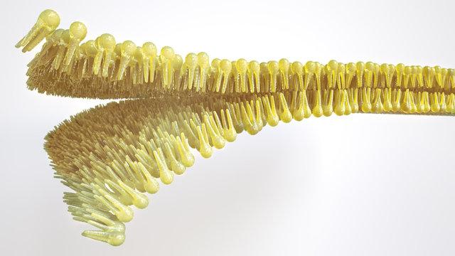 Human lipid bilayer - 3D Rendering
