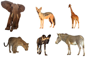 African wildlife isolated. Elephant, Jackal, Giraffe, Leopard, Wild Dog and Zebra on white background