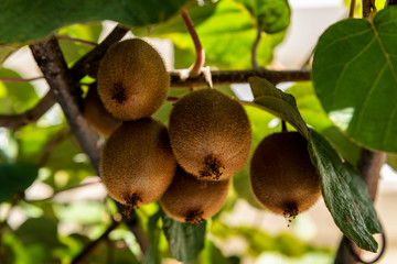 Organic Kiwi Fruit Growing in a Small Garden