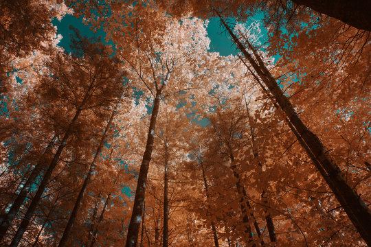 Tall trees in forest in IR