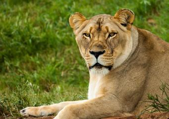 Lioness waiting for nightfall