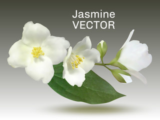 Jasmine flower vector illustration, mock orange plant branch. Realistic bush twig with buds, white petals, yellow pollen on stamens, green leaf. Isolated inflorescence on grey.