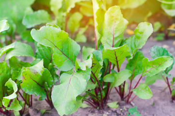 fresh young beets growing in the garden. green leaves. useful vegetables and vitamins. agriculture