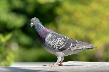 side view full body of speed racing pigeon against green blur background
