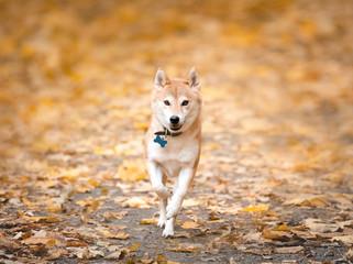 Shiba Inu running in autumn park