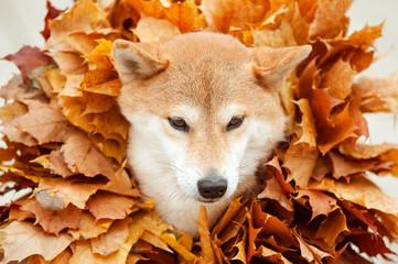 Shiba Inu dog closeup head in golden autumn leaves