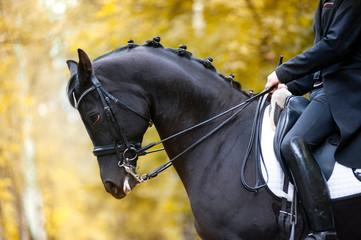 dressage horse portrait in harness closeup surrounded by autumn park