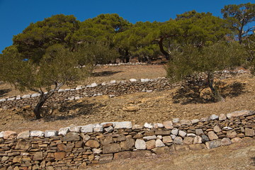 Olive trees at the trail from Diafani to Awlona on Karpathos in Greece
