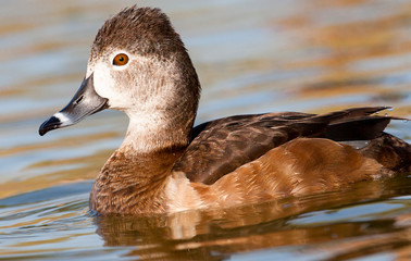 female ring-necked duck in pond
