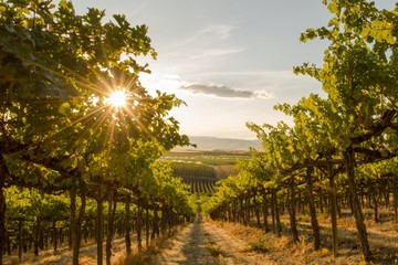 A Close up view of a Vineyard on a hill at sunset - Washington state
