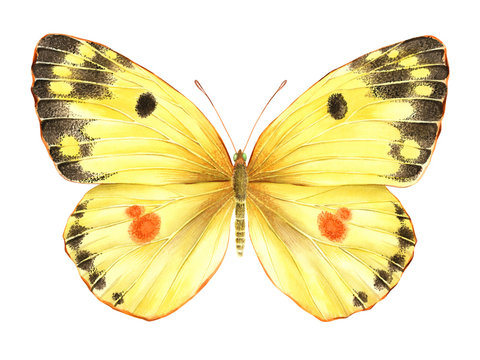 Watercolor yellow butterfly. Hand drawn illustration isolated on white background