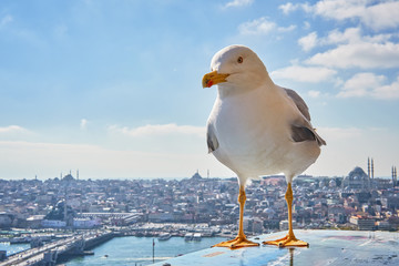 Seagull on the background of Istanbul.
