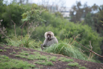 Baboon in the grass