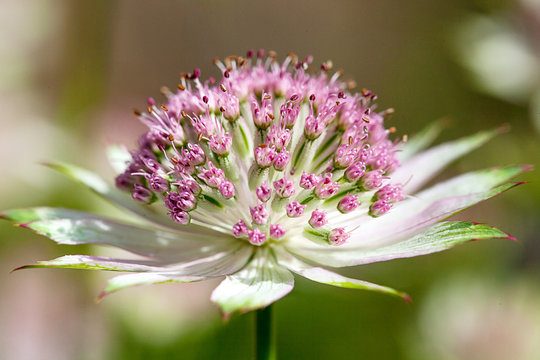Close up or macro of  an Astrantia major - Great Masterwort flower showing it in all its lovely detail