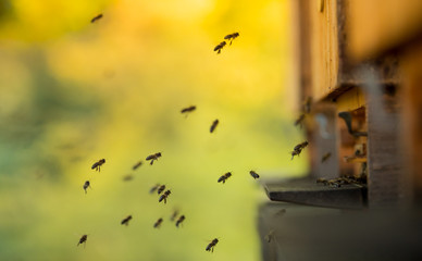 Close up of flying bees.