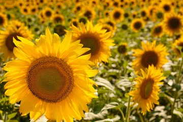 Sunflower focused on in a field of sunflowers