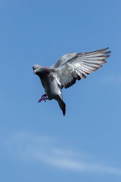 flying of speed racing pigeon against clear blue sky