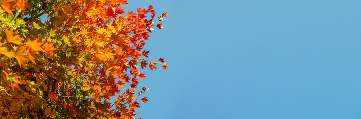 Obraz coloured leafs of a tree in autumn in front of a blue sky - fototapety do salonu