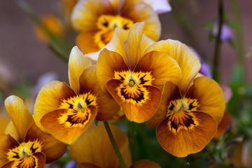 Mooie bruine en gele gezichten van de bloemen van Viola, Velour Frosted Chocolate