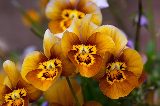 Pretty brown and yellow faces of the Viola, Velour Frosted Chocolate flowers