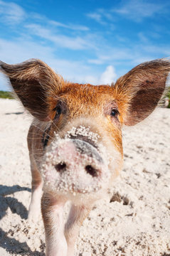 Dirty Nose Baby Pig