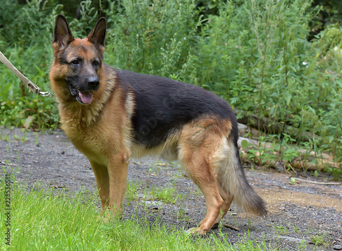 Portrait Of German Shepherd Dog Stock Photo And Royalty Free Images