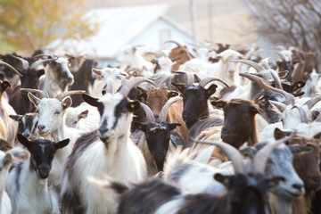 Rural goat herd blurred background